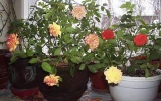 Уход за комнатной розой осенью и зимой
