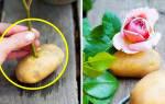 Как размножить розы черенками осенью в картошке?