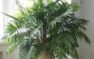 Цветы комнатные как пальмы