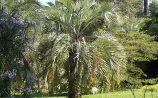 Как ухаживать за пальмами?