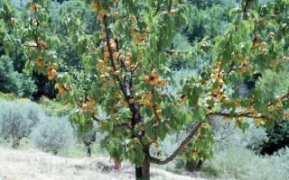 Абрикос как ухаживать за деревом