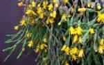 Комнатное растение с мелкими листочками похожее на мокрицу