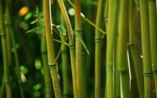 К какому классу относится бамбук