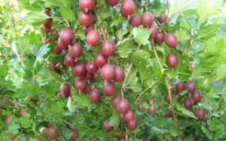 Плодовые кустарники для сада и огорода многолетники