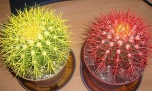 Как ухаживать за кактусом эхинокактус грузони?