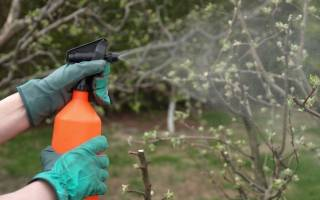 Когда опрыскивать деревья железным купоросом