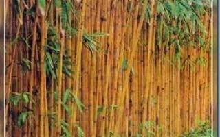 Бамбук посадка и уход в саду