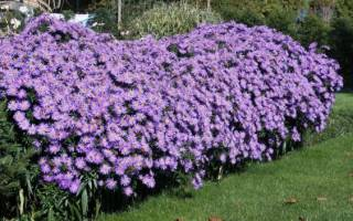 Самые красивые многолетние цветы и кустарники