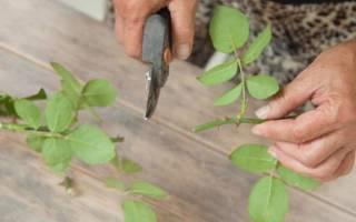 Как размножать розы черенкованием?