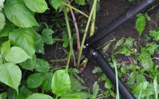 Уход за ежевикой садовой обрезка осенью