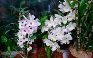 Орхидеи дендробиум нобиле уход