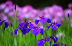 Как ухаживать за ирисами после цветения?