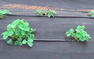 Уход за клубникой под спанбондом осенью