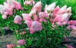 Гортензия уход осенью после цветения