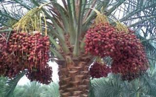 Финиковая пальма канарская пальма