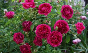 Розы осенью уход и подготовка к зимнему укрытию на урале