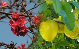 Айва лимонная посадка и уход
