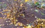 Уход за смородиной осенью подготовка к зиме в подмосковье