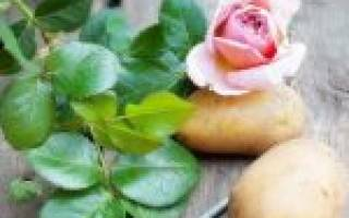 Как размножить розы черенками в картошке в домашних условиях?