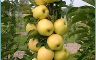 Колоновидные яблони уход и обрезка осенью