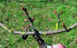 Осенняя обрезка яблони и груши