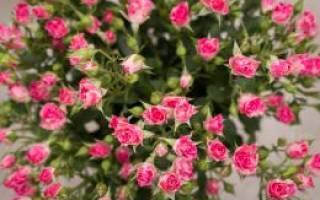 Как ухаживать за розами кустовыми розами?
