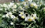 Нарциссы посадка осенью и уход в открытом грунте