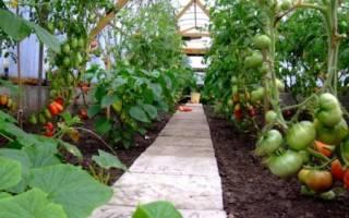 Как ухаживать за помидорами чтобы был хороший урожай в теплице?