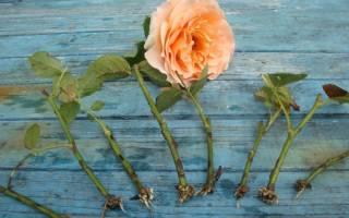 Разведение роз из черенков