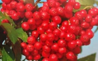 Рябина красная посадка осенью и уход