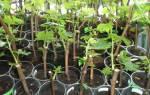 Как посадить отросток винограда?