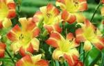 Многолетние высокие красивые цветы