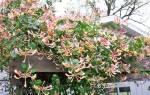 Жимолость вьющаяся посадка и уход осенью