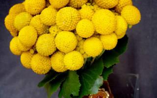 Золотые шары посадка и уход осенью