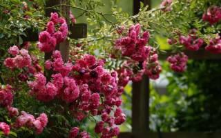 Плетистые розы что это такое