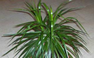 Пальмы домашние как ухаживать