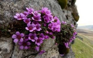 Камнеломка уход осенью подготовка к зиме