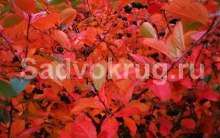 Уход за черноплодной рябиной осенью подготовка к зиме