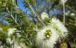 Австралийское чайное дерево комнатное растение