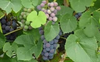 Как взять черенки у винограда?