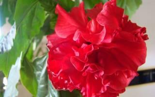 Как называется комнатный цветок с красными цветами и длинными листьями?
