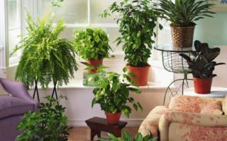 Декоративно лиственное растение комнатное