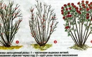 Розы уход в открытом на зиму