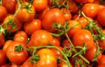Как продлить жизнь помидорам в теплице?