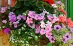 Можно ли виолу выращивать как комнатное растение?