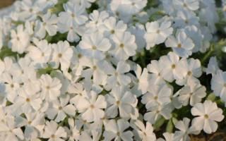 Многолетние цветы очень красивые