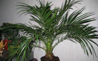 Комнатные цветы как пальмы
