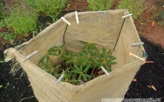 Рододендрон уход осенью обрезка