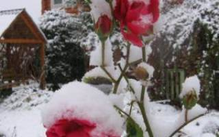 Уход за чайной розой осенью на урале