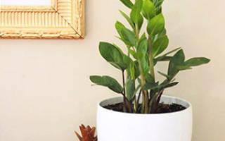 Замиокулькас уход в домашних условиях пересадка осенью